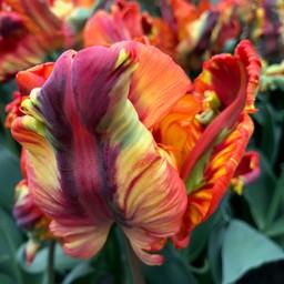 Tulip Rainbow Parrot