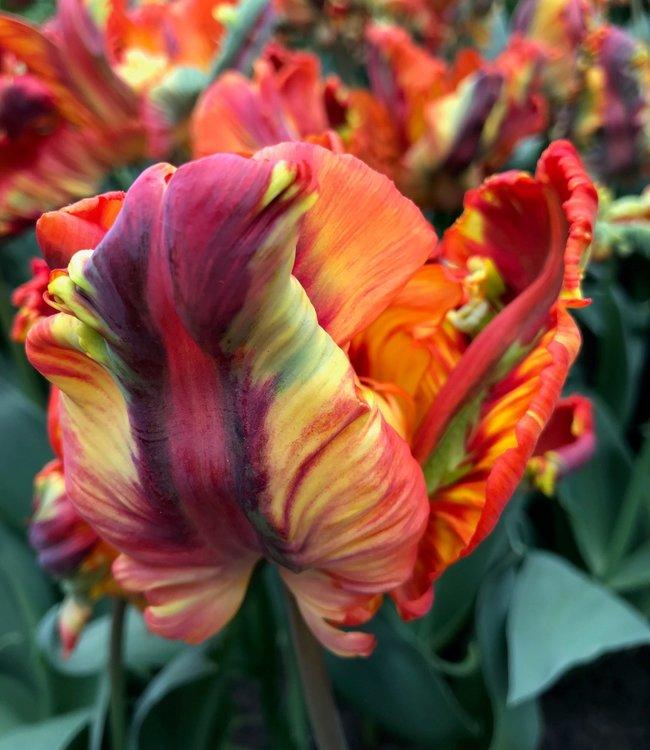 Tulipe Rainbow Parrot