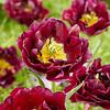Tulip Jinan
