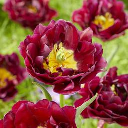 Тюльпан Jinan