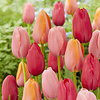 Tulip mixture French Rubies