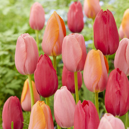 Tulpenmix French Rubies