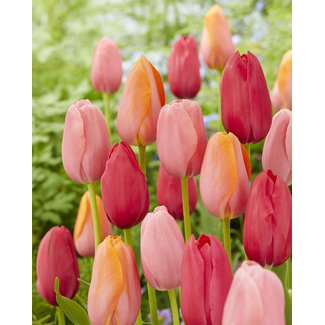 Tulpen Mischung French Rubies