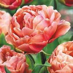 Tulpe  Copper Image