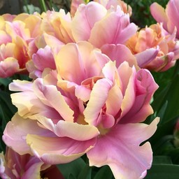 Tulp Pink Star
