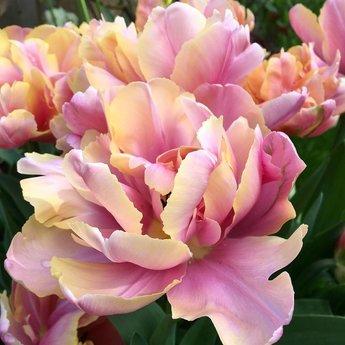 Tulpe Pink Star
