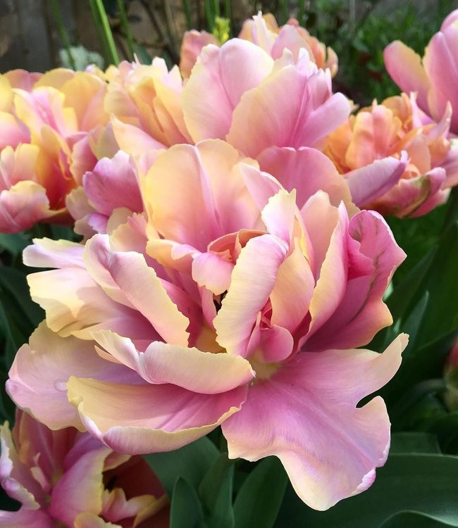 Tulip Pink Star