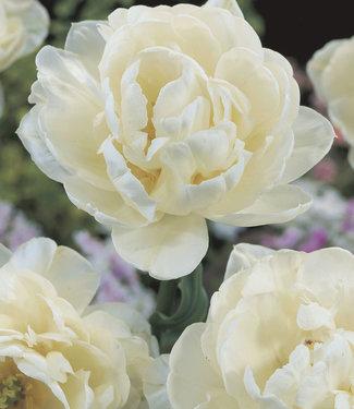 Tulipe Mount Tacoma