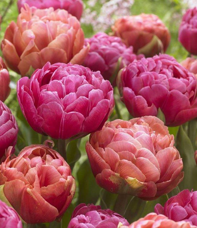 Tulipes melange Best Friends