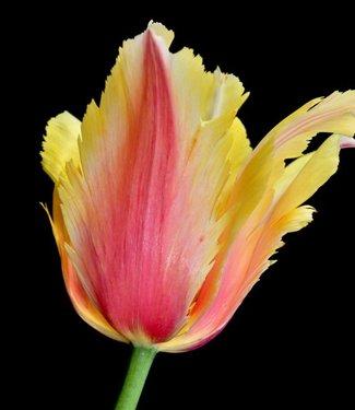 Tulpe Flaming Memory