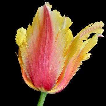 Tulipa Flaming Memory