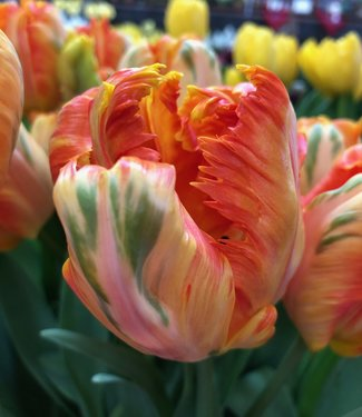 Tulip  Parrot King