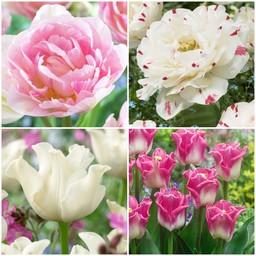 Rosa Tulpen Sammlung