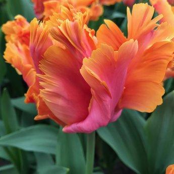 Tulipa Parrot Party