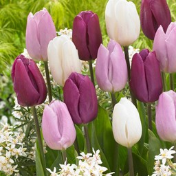 Микс тюльпанов Purple Rain