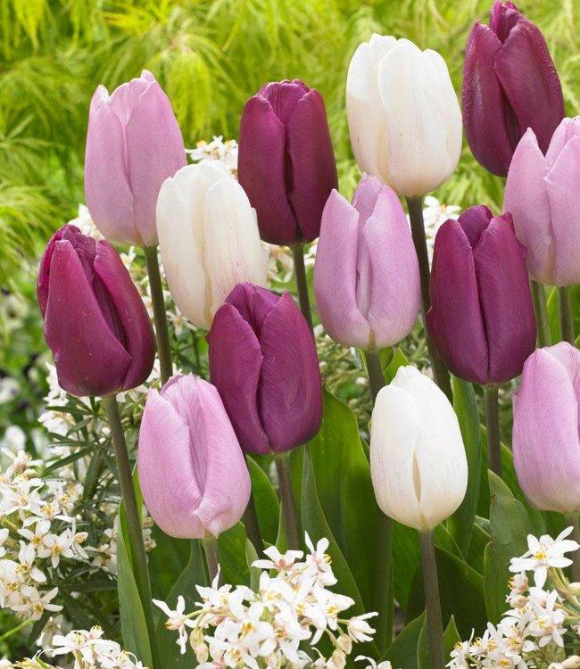 Mélange de tulipes Purple Rain