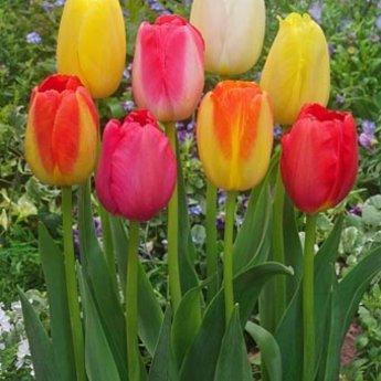 Tulip Festival Gift Box