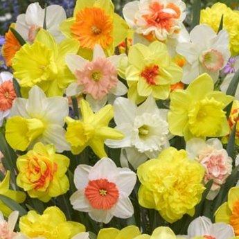 Narcissus Banana Dacqueri