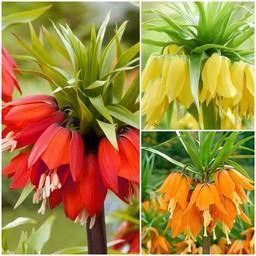 Fritillaria Sammlung