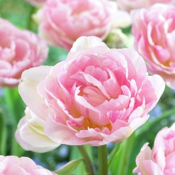 Pink Tulip Collection