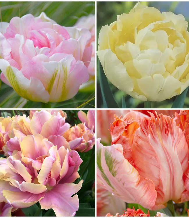 Pastel Tulip Collection