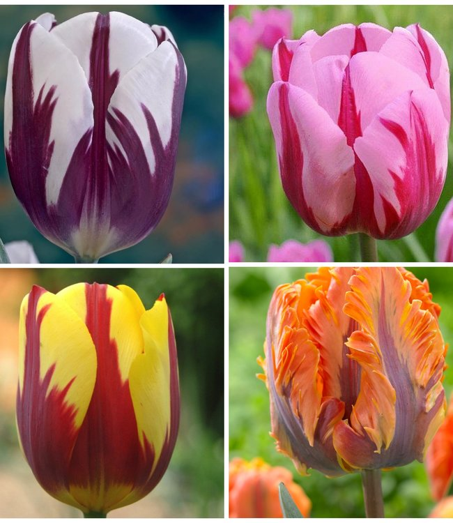 Tulipe Collection Rembrandt