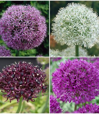 Allium Collectie