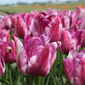 Tulipa Dutch Heritage