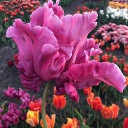Тюльпан Victoria Secret Pink