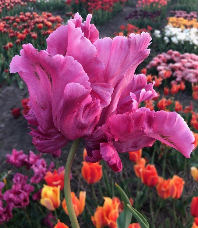 Tulip Victoria Secret Pink