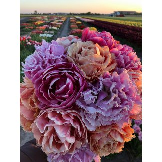 Tulpen Mischung Dutch Romance