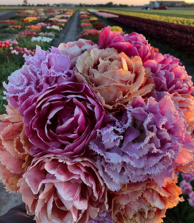 Mélange de tulipes Dutch Romance