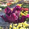 Tulpe Victoria Secret