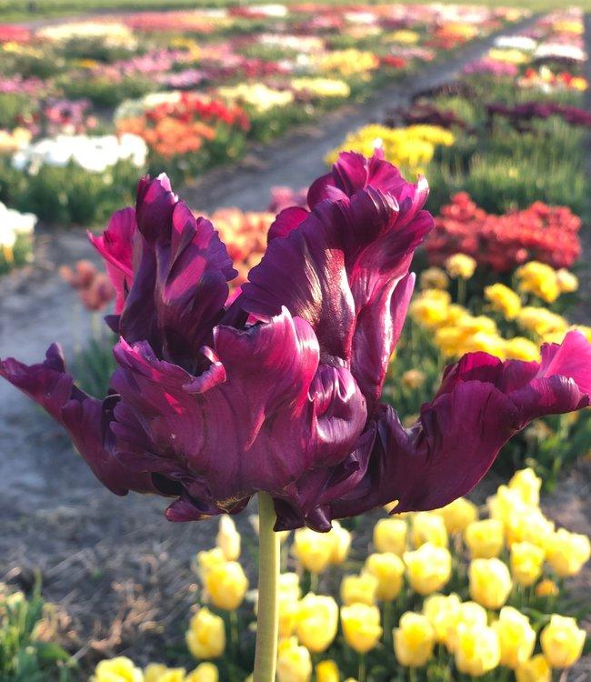 Tulip Victoria Secret