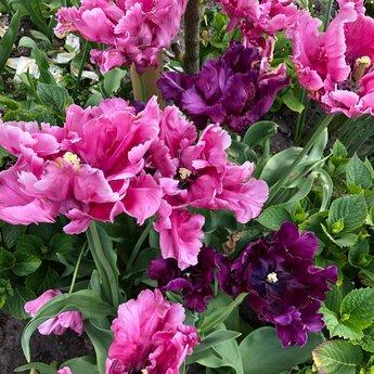 Tulipa Victoria Secret