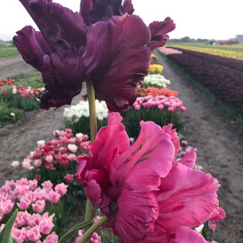 Tulipa Victoria Secret Pink