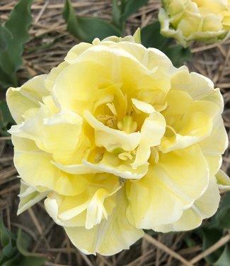 Tulipe Verona
