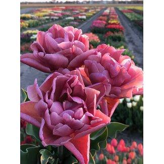 Tulpe Pink Treasure