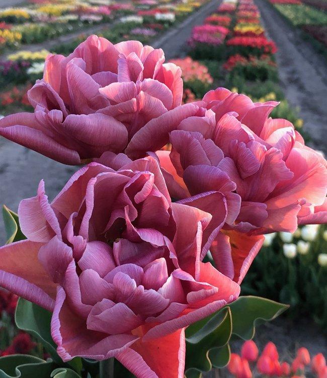 Tulipe Pink Treasure