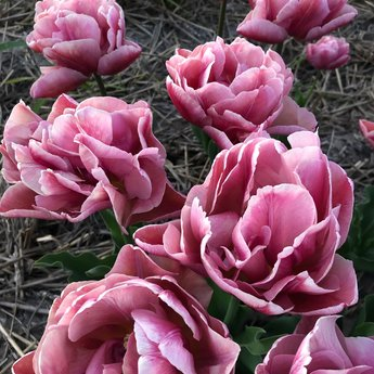 Tulipa Pink Treasure
