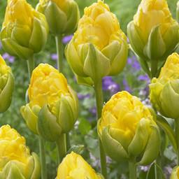 Tulpe Vanilla Coup