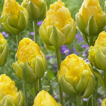 Tulipa Vanilla Coup