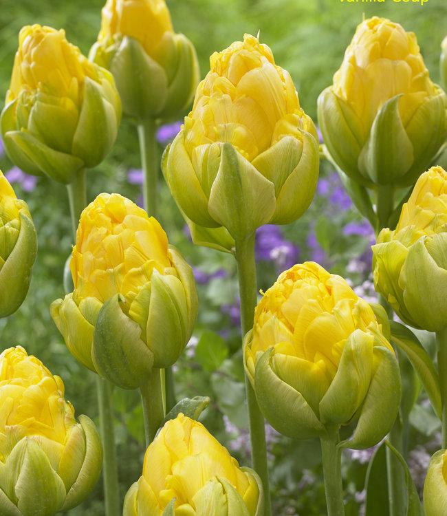 Tulipe Vanilla Coup