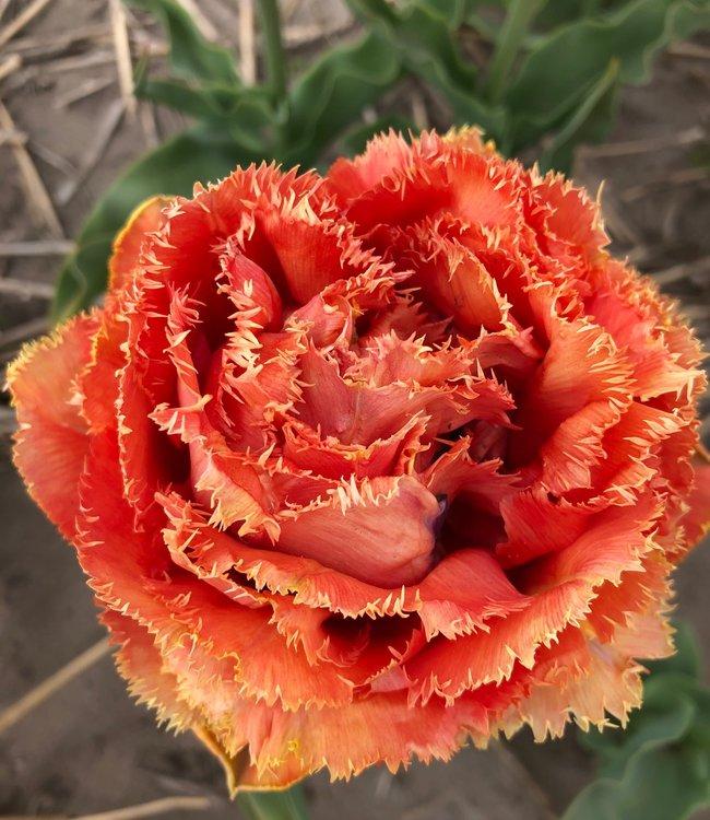 Tulipe Sensual Touch