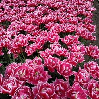 Tulipa  Columbus