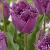 Tulp Lilac Frizzles