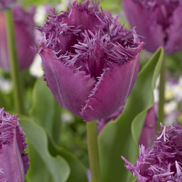 Tulip Lilac Frizzles