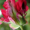 Tulip Red Wave