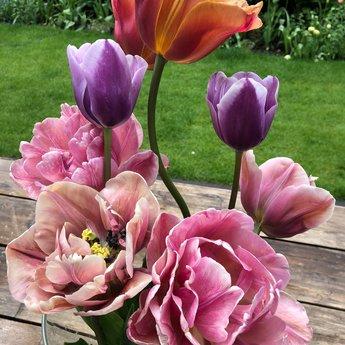 Tulipa Lilac Love