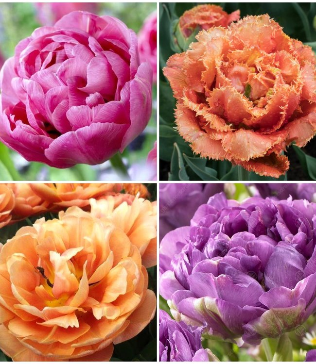 Collection Tulipe Pivoine